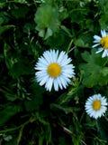 Marguerites en nature photo libre de droits