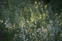 Marguerites environ à fleurir dans le coucher du soleil rougeoyant image libre de droits