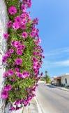 Marguerites espagnoles roses accrochantes sur le mur près de la rue Photos libres de droits