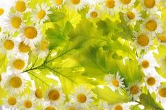 Marguerites et feuilles de chêne Image stock