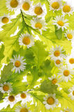 Marguerites et feuilles de chêne Photo stock