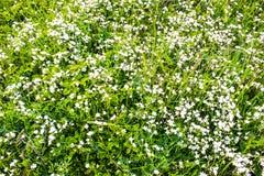 Marguerites et herbe Photos libres de droits