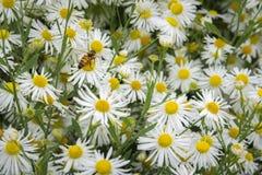 Marguerites et l'abeille photographie stock libre de droits