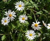 Marguerites in the field Stock Photo