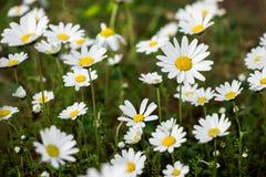Marguerites fleurissantes de ressort Photo libre de droits
