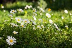 Marguerites fleurissantes de ressort en parc Images libres de droits