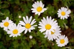 Marguerites fleurissantes de ressort en parc Photos stock
