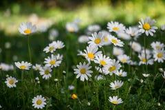 Marguerites fleurissantes de ressort en parc Photo libre de droits