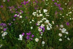 Marguerites fleurissantes sur un pré pendant l'été Le champ fleurit la fleur photos libres de droits