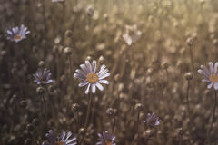 Marguerites flowers Royalty Free Stock Images