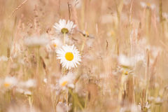 Marguerites flowers with bokeh Stock Image