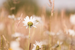 Marguerites flowers with bokeh Royalty Free Stock Images