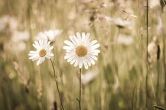 Marguerites flowers with bokeh Royalty Free Stock Photography