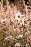 Marguerites flowers with bokeh Royalty Free Stock Photo