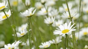 Marguerites with hair ribbon on a wing stock footage