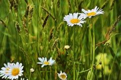 Marguerites, herbes et oreilles dans un pré de montagne au printemps photographie stock libre de droits