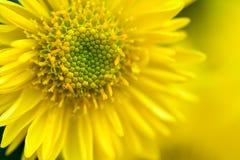 Marguerites jaunes Photographie stock
