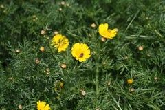 Marguerites jaunes et un insecte images libres de droits
