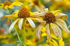 Marguerites jaunes fanées Photo libre de droits