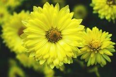 Marguerites jaunes sur un parterre photo libre de droits