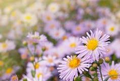Marguerites lilas Photographie stock libre de droits