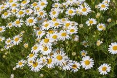 Marguerites médicinales dans le domaine Chamomilla de Matricaria image stock