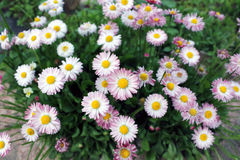 Marguerites. Many beautiful little daisies in the garden royalty free stock photography