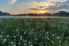 Marguerites on a meadow in spring at sunrise. At Bayreuth, Germany, Wilhelminenaue. Marguerites on a meadow in spring at sunrise. At Bayreuth, Germany Stock Photo