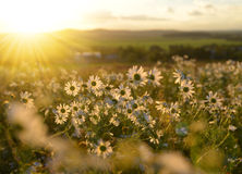 Marguerites on meadow at sunset. Stock Photos