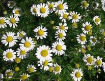Marguerites mignonnes dans mon jardin image libre de droits