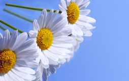 Marguerites on a mirror Stock Images