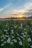 Marguerites na łące w wiośnie przy wschodem słońca Przy Bayreuth, Niemcy, Wilhelminenaue Obraz Stock