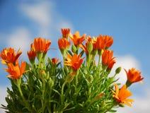 Marguerites oranges Image libre de droits