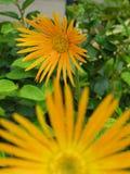 Marguerites oranges Photo stock