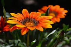 Marguerites oranges Photos stock