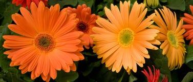 Marguerites oranges de Gerber Images libres de droits