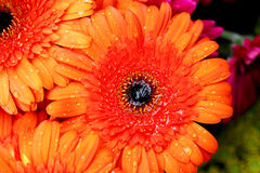 Marguerites oranges de Gerber arrosées avec de l'eau Image stock