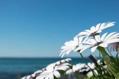 Marguerites par la plage Photos stock