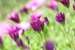 Marguerites pourprées et roses Image libre de droits
