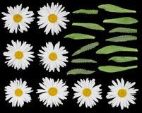 Marguerites réglées d'isolement sur le noir Image stock