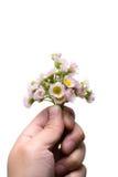 Marguerites roses photo libre de droits