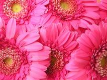 Marguerites roses Photographie stock libre de droits