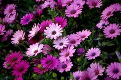 Marguerites roses Images libres de droits