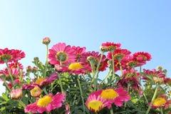 Marguerites roses Image libre de droits
