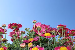 Marguerites roses Photos stock