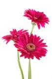 Marguerites roses de gerber Photographie stock