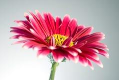 Marguerites roses de gerbera Photo stock
