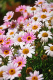 Marguerites roses et blanches Photos libres de droits