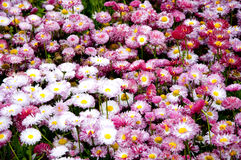 Marguerites roses et blanches Photos stock