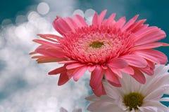 Marguerites roses et blanches Photo libre de droits